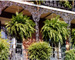 New Orleans French Quarter Hanging Ferns